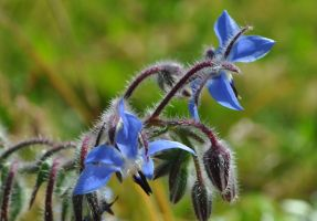 Blue borage flowers by snoogaloo