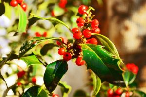 holly tree by FotoSigma