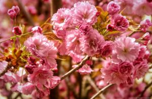 Spring - Ornamental Cherry by pingallery