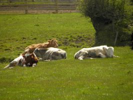 Cows by Agatje