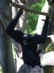 Siamang 6 by HymnsStock