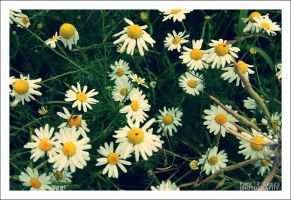 daisies. by cute-sho