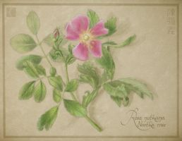 Nootka Rose by cambium