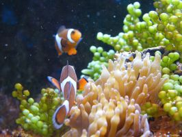 Nemo fish3 by Lucie-Lilly