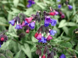Pulmonaria by ancoben