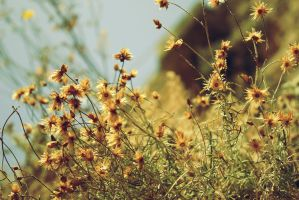 Sunny Camomile Morning by l00py