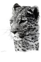 African Leopard by PittuMcflurry