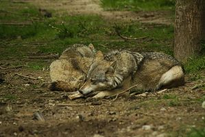 wolves by marob0501