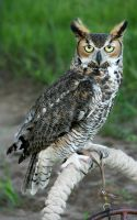 Perched Great Horned Owl by Kippenwolf