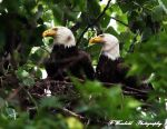 Bald Eagles on the nest by twombold