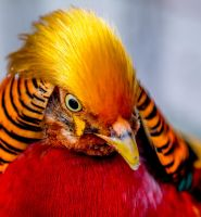 Golden Pheasant by monotone2k