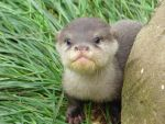 Asian Short Clawed Otter by Iron-Star