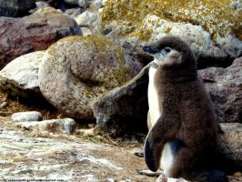 Magellanic penguin 12 by Cansounofargentina
