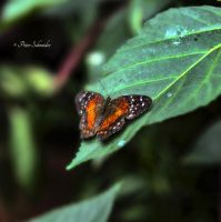 Pied wings 2. by Phototubby