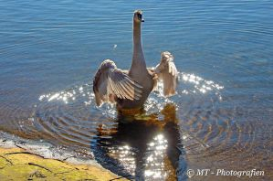 Swan qi gong exercise no.2 by MT-Photografien