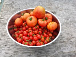 Tomatoes by TheBhoky