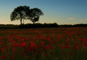 Sunset Poppies by BikeBoyPunk