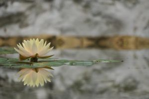 Lily reflection by siobhanleigh
