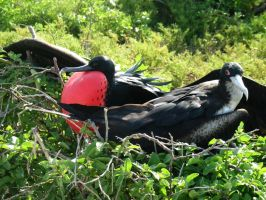 Galapagos : Frigate Birds by OnyxSerpent