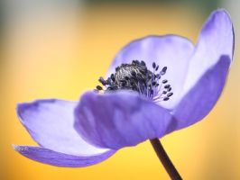 Violet Anemone WP3 by geko78