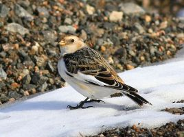 Snow bunting by Somnp