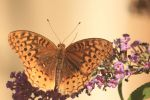 Great spangled fritillary by Laur720