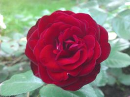 Red Rose by SDolha