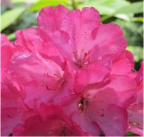 Rhododendron 13 by Kattvinge
