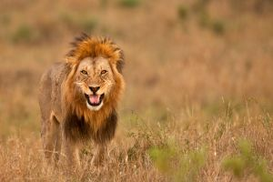 African Lion 22 by catman-suha