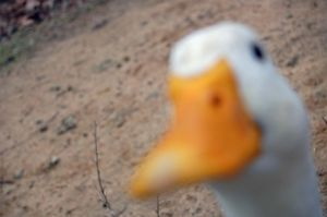 DUCK. by erinerinerinerinerin