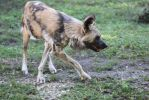 00205 - Wild Dog Turning by emstock