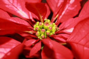 poinsetta by Mab-overthrown