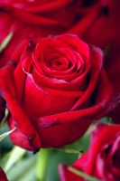 Red Rose... by wildtea