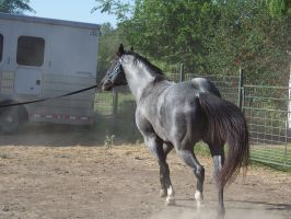 Blue Roan Trotting by KellSarina