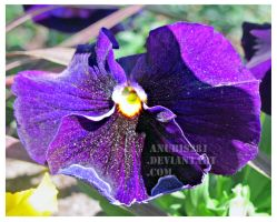 Purple Pansy 2433 by anubis281