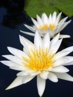 Water Lily 03 by LoveandConfections