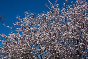 Cherry Blossoms 8 by KariLouMc