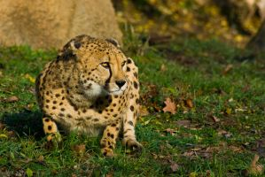 cheetah370 by redbeard31