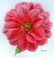 Another Friday Night Flower by Deb-e-ann