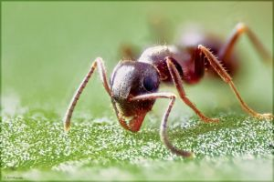 Ant close up by JohnBoy88