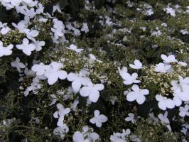 little white flowers by Etherick