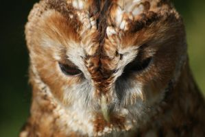 Tawny Owl by little--grasshopper