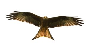 Wild Red Kite by Yslen