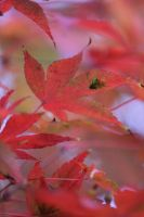 Red Leaves by Arisingdrew