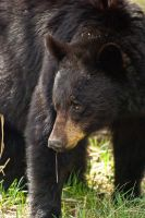 20100520-0843 Black Bear Male by Yellowstoned