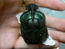 scarab by Son-of-Italy