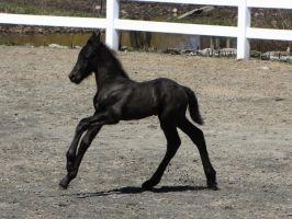 Friesian Colt by PhotosByMelissa