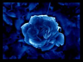 blue rose by cls-one