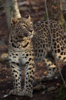 Persian leopard portrait. by Ravenith