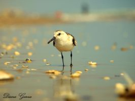 beach bird by shispis